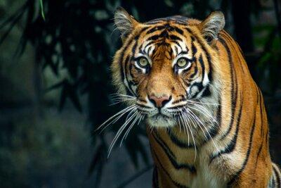 Fototapete  Proud Sumatran Tiger prowling towards the camera