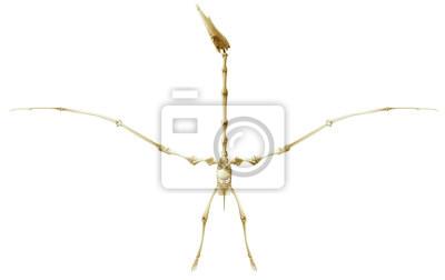 Pterodaktylus Skelett