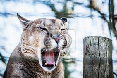 Puma en train de bailler
