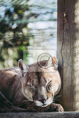 Puma en train de dormir