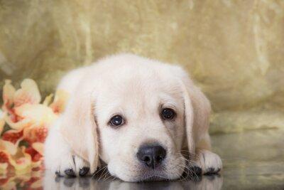 Fototapete Puppy Rasse Labrador