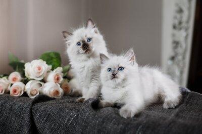 Fototapete Ragdoll blauen Punkt kleines Kätzchen