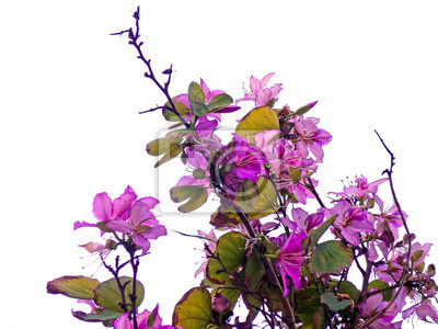 Fototapete: Ramas de los árboles con flores rosas und primavera en el jardín