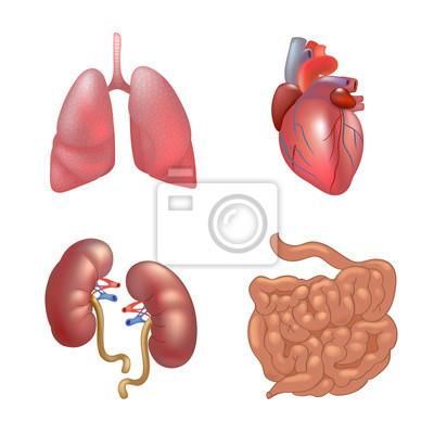 Realistische menschliche organe setzen anatomie fototapete ...