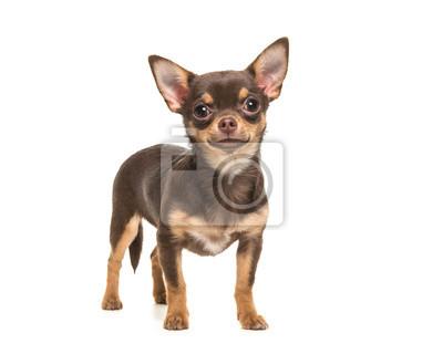 Fototapete Recht braun stehende Chihuahua