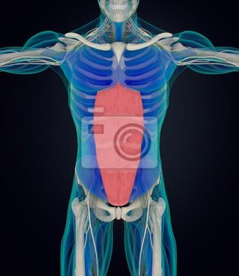 Rectus abdominus, magen muskeln, menschliche anatomie. 3d ...