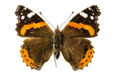 Fototapete Red Admiral Schmetterling