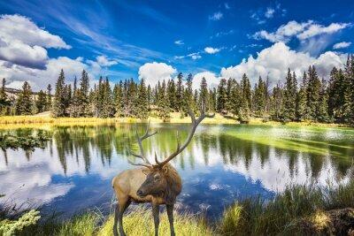 Fototapete Red Deer mit Zweighörnern kostet auf bezaubernden See