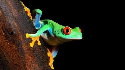 Fototapete red-eye tree frog  Agalychnis callidryas