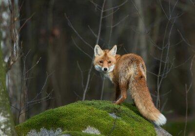 Fototapete Red Fox auf dem moosigen Felsen, Blick direkt in die Linse ,, Tschechische Republik, Europa