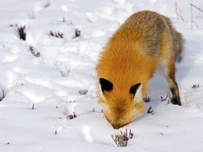 Fototapete Red Fox Gesicht im Schnee