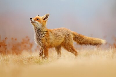 Fototapete Red Fox hunting, Vulpes vulpes, wildlife scene from Europe. Orange fur coat animal in the nature habitat. Fox on the green forest meadow.