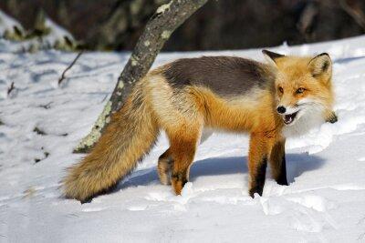 Fototapete Red Fox im Schnee