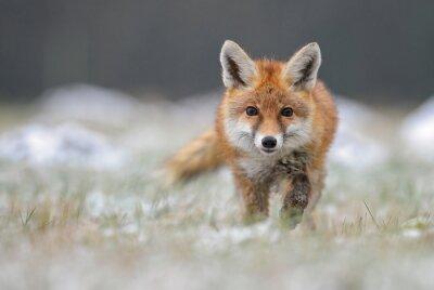 Fototapete Red Fox im Winter Fuchs