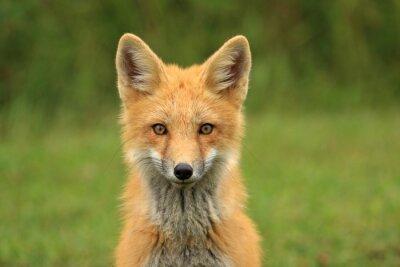 Fototapete Red Fox Kit Head Portrait, PEI, Canada