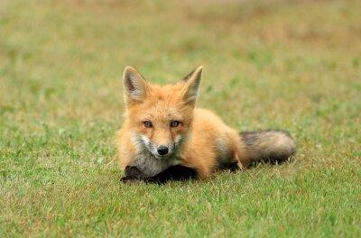 Fototapete Red Fox Kit Posing in einem Gras Wiese, PEI, Kanada