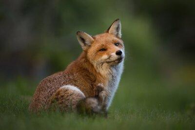 Fototapete Red Fox sitzt im Gras