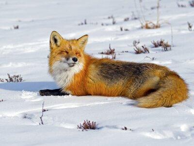 Fototapete Red Fox Sonnenbaden im Schnee