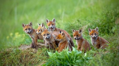 Fototapete red fox Vulpes cubs sitting by the den