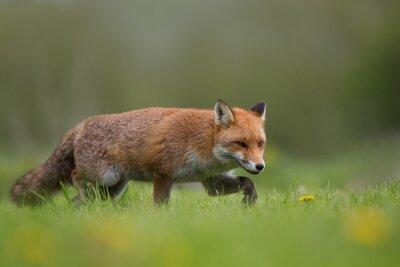 Fototapete Red fox zu Fuß in ein Feld von Gras und Blumen