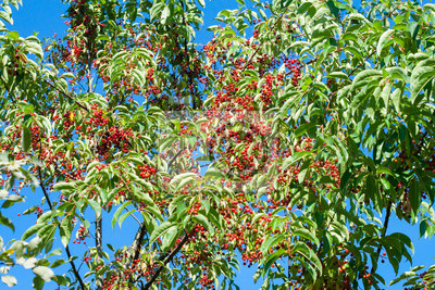 Red fruit on the tree