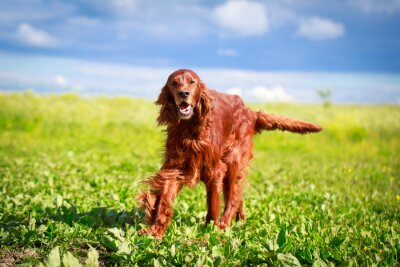 Fototapete Red irish setter dog