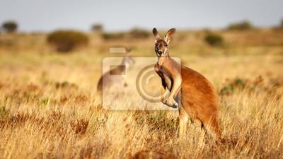 Fototapete Red Kangaroo, Flinders Ranges Nationalpark, Südaustralien
