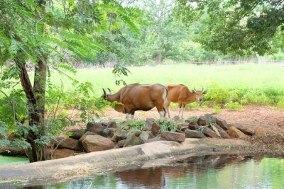 Red Kuh essen Gras und Wasser