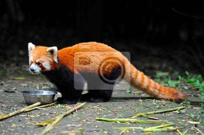 Fototapete Red Panda Bär