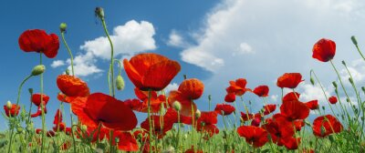 Fototapete red poppy and clouds