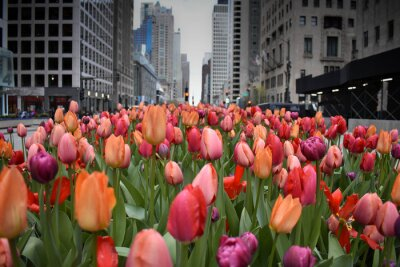 Fototapete red tulips in Chicago downtown