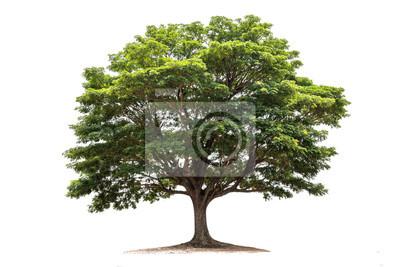 Fototapete Regenbaum getrennt auf weißem Hintergrund. Tropischer Baum