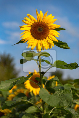 Reife Sonnenblume