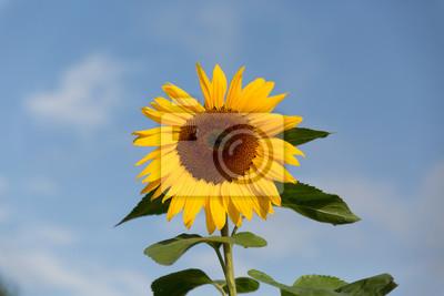 Reife Sonnenblume mit Honig Bine