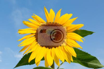 Reife Sonnenblume mit Honig Binen