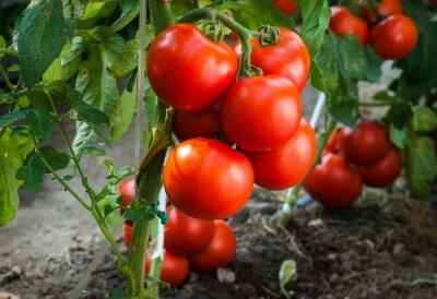 Fototapete Reife Tomaten im Garten bereit zu ernten