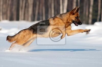reinrassigen Deutsch Schäfer springt und läuft in den Schnee