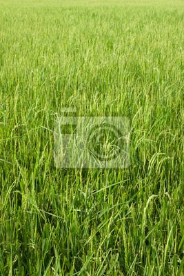 Reis-Feld mit grünem Gras bauernhof Hintergrund Textur aus Thailand.
