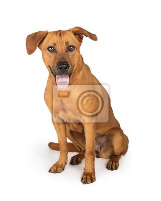 Rhodesian Ridgeback Labrador Kreuzung Hund Fototapete Fototapeten