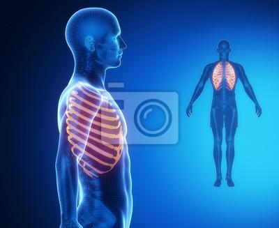 Ribs knochenanatomie x-ray-scan fototapete • fototapeten ...