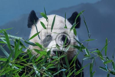 Riesen Panda Beim Essen Bambus Fototapete Fototapeten Sichuan
