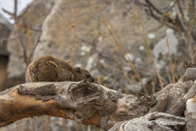 Rock hyrax in Kruger National park, South Africa ; Specie Procavia capensis family of Procaviidae