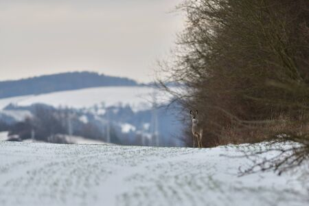 Fototapete Roe deer coming out of the woods for pasture in winter snow