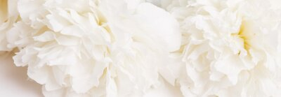 Fototapete Romantic banner, delicate white peonies flowers close-up. Fragrant pink petals