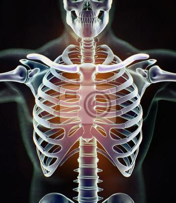 Röntgenbild, menschlicher anatomietorso, skelettstruktur, knochen ...