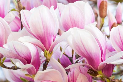 Fototapete rosa Blume Magnolie