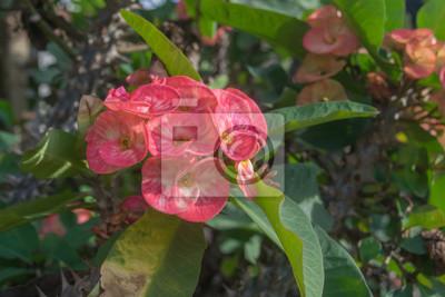 Rosa euphorbia milii blumen bl hen christus dorn poi sian blumen fototapete fototapeten - Wolfsmilch zimmerpflanze ...