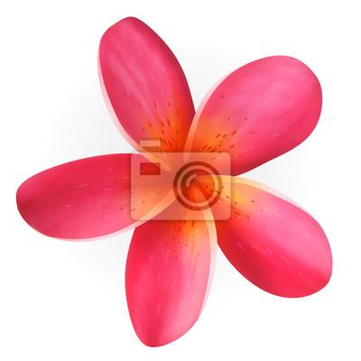 Rosa Frangipani-Blüte auf weiß, Vektor eps10 isoliert