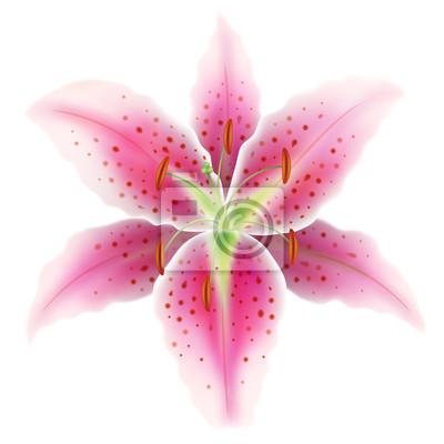Rosa Lilie auf einem weißen Hintergrund, Vektor-Illustration eps10.