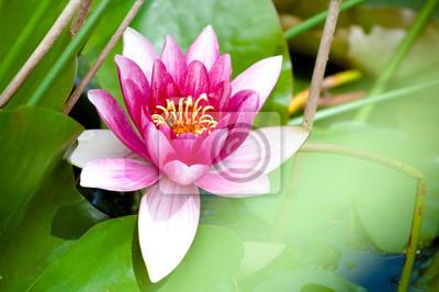 rosa Lotosblume in voller Blüte